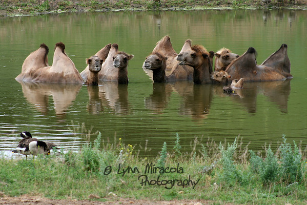 Camels, see the two little babies on the right?